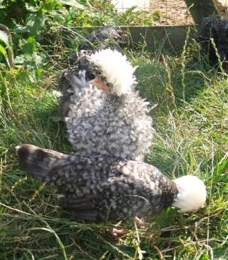 La passion de mon fils, poules d'ornements  (autres races) 2012_014