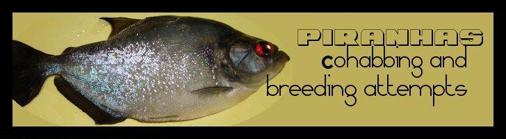 piranha - PIRANHA-COHABS AND BREEDING ATTEMPTS , LE FORUM PIRANHA-INFO.EU Cohabl10