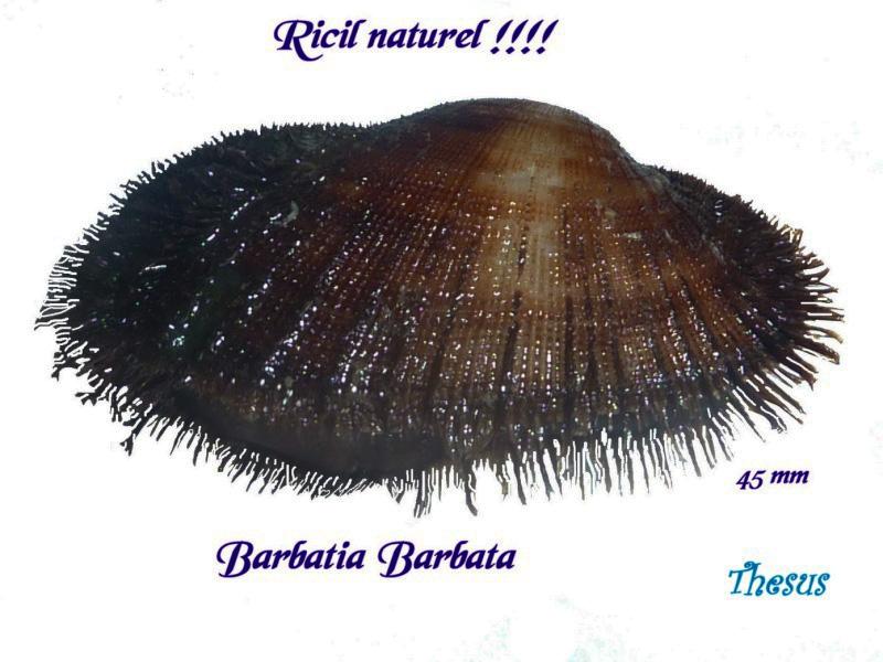 Barbatia barbata - (Linnaeus, 1758)  Aaaaaa10