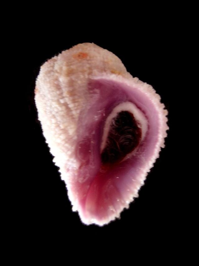 Coralliophila radula - (A. Adams, 1855) Av_rap10