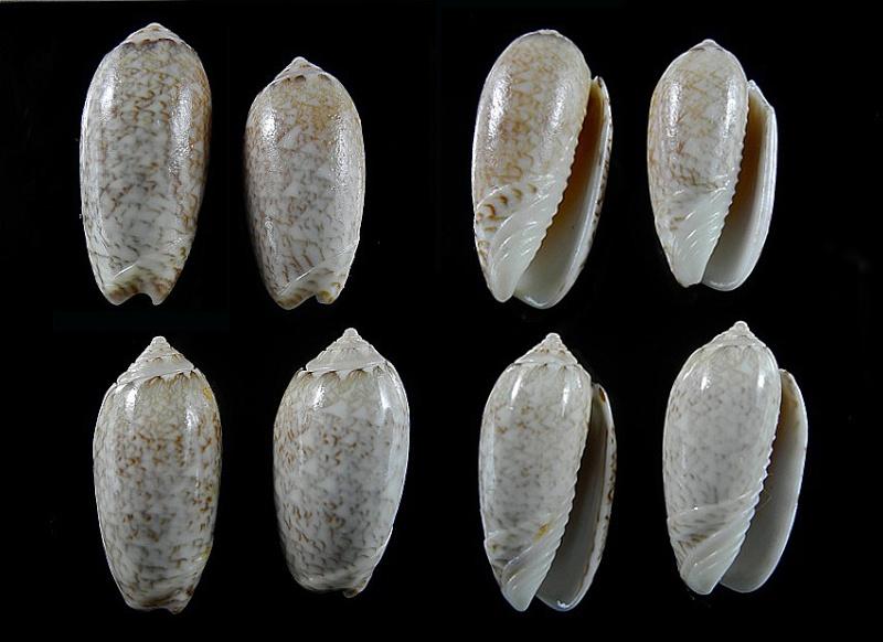 Americoliva jamaicensis zombia (Petuch & Sargent, 1986) Oliva_11
