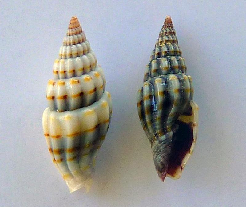 Vexillum intertaeniatum - (G. B. Sowerby II, 1874) P1080610