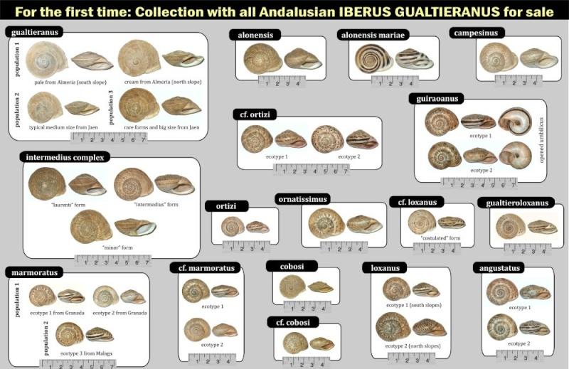 Collection de tous les Iberus du sud-Espagne Resize10