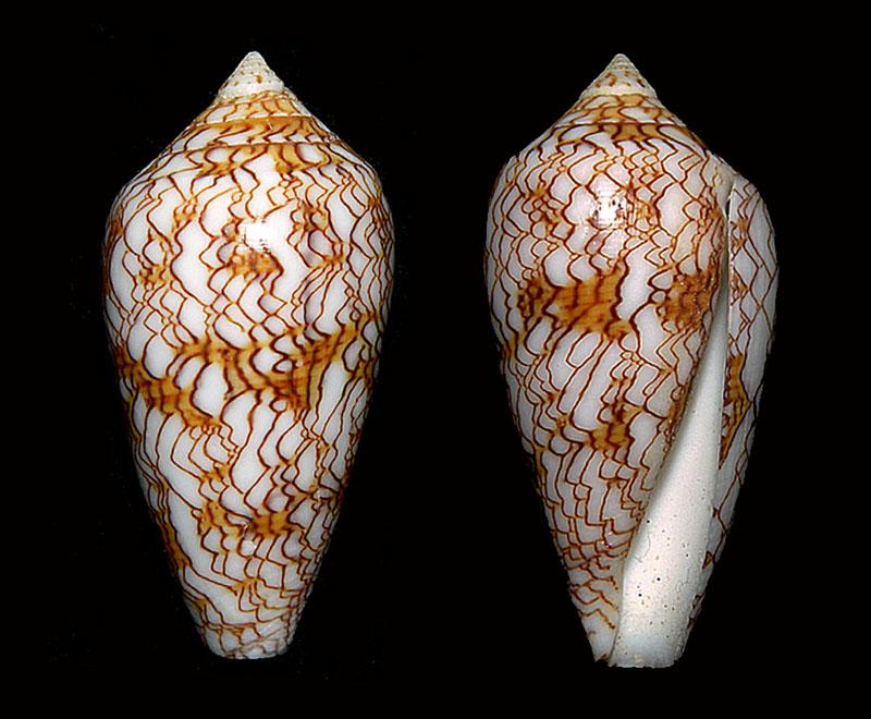 Conus (Cylinder) archiepiscopus sirventi   Fenaux 1943 Zuzann11