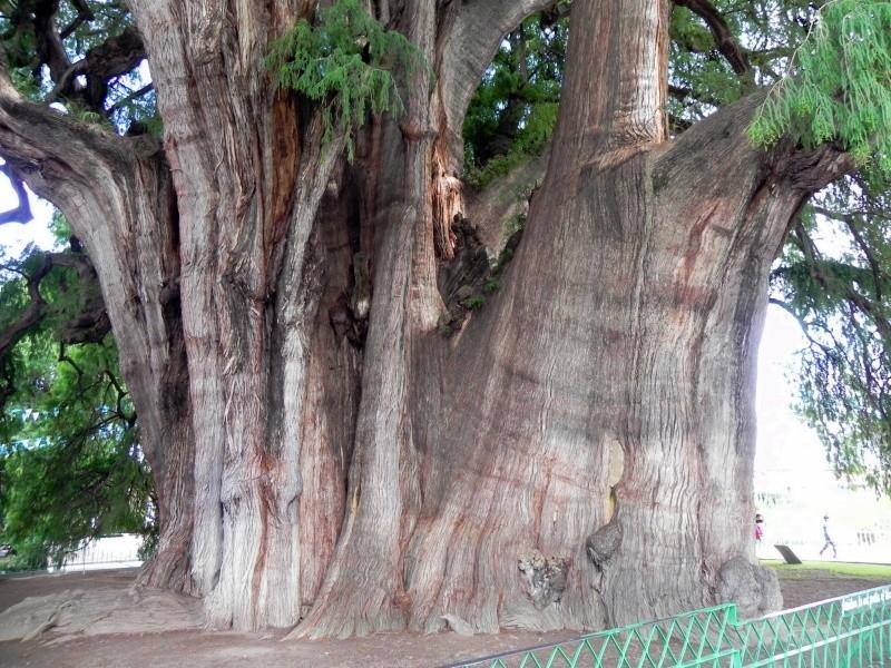El Árbol del Tule - Santa Maria del Tule, Oaxaca Dscn3711