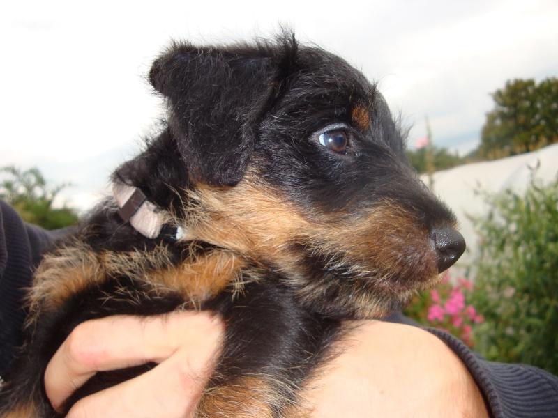 chiots jagd terrier Dsc02510
