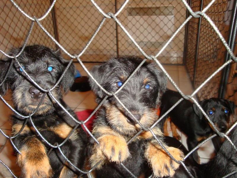chiots jagd terrier Dsc02610