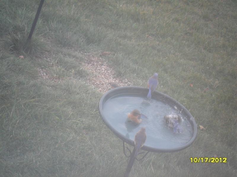 Bluebirds playing around Oct_1710