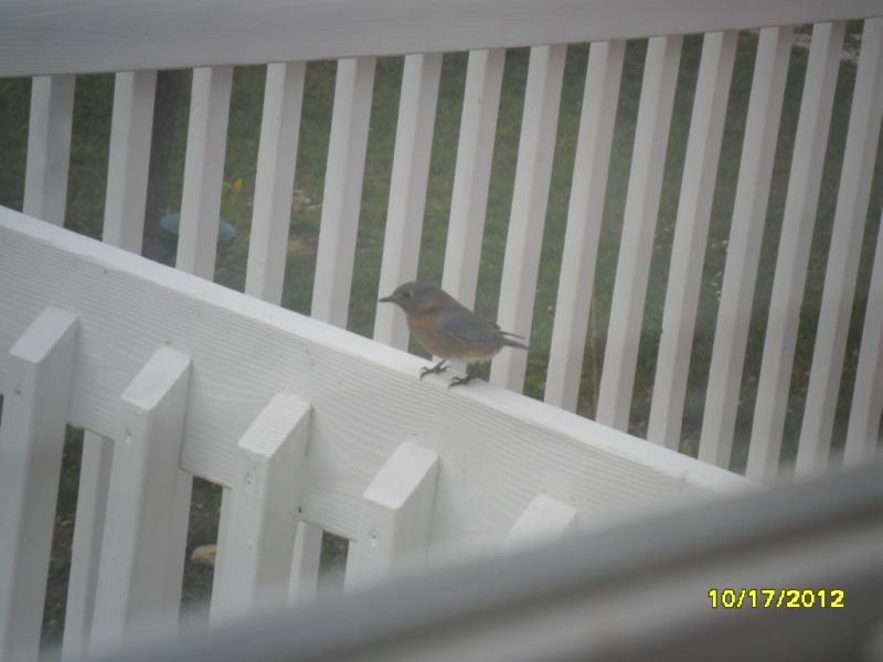 Bluebirds playing around Oct_1712