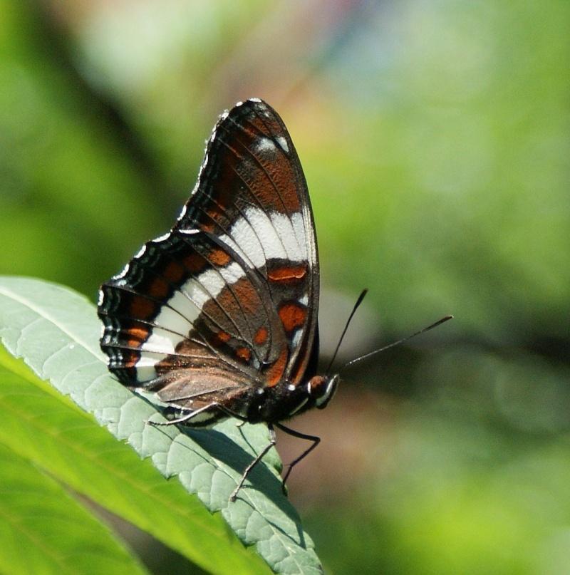 Papillons - identification... Parc_n11
