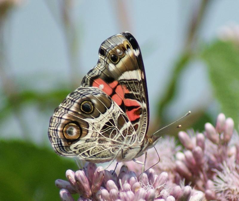 Papillons - identification... Parc_n12