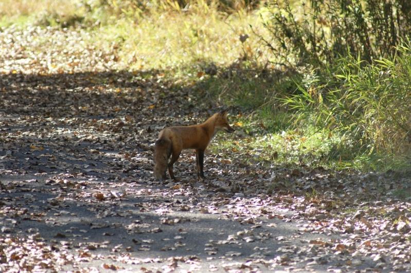 Histoire de....Renard à la chasse Parc_n33