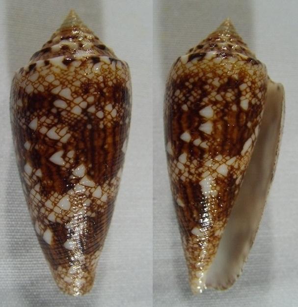 Conus (Cylinder) tagaroae   (Limpalaër & Monnier, 2013) Kgrhqj10