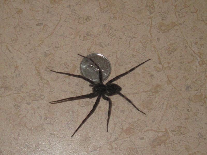 Une très grosse araignée!! 00112