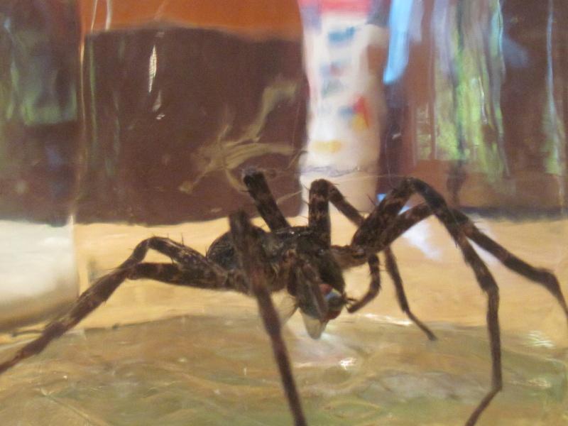 Une très grosse araignée!! 00213