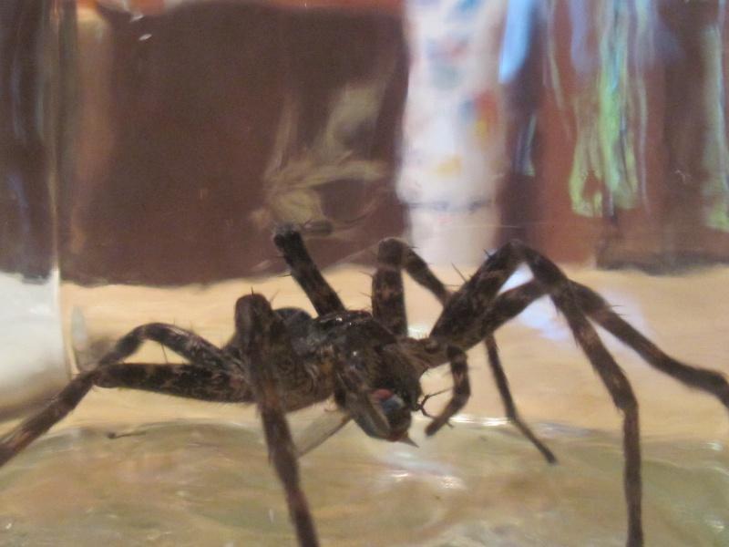 Une très grosse araignée!! 00313