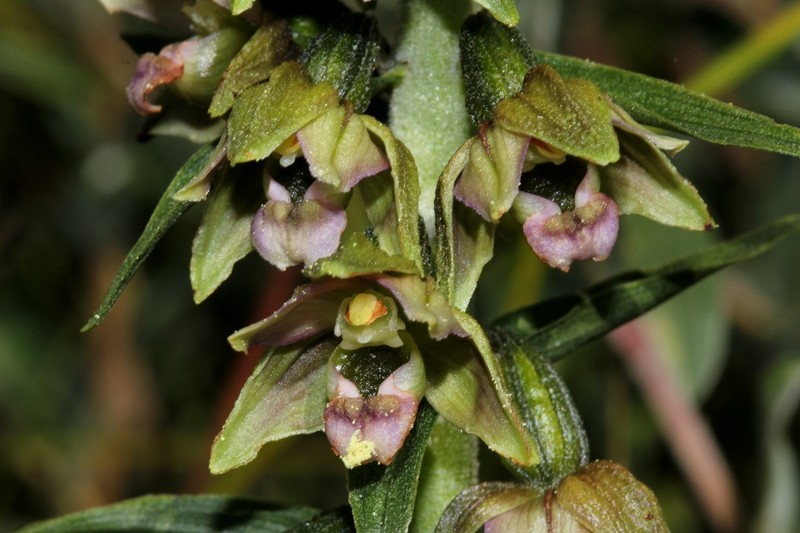 Epipactis neerlandica ( Epipactis des pays-bas ) 17_b10