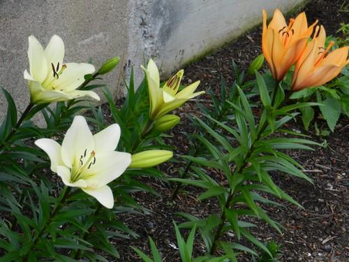 floraison de lys...et après? Dscn1310
