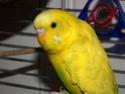 Perruche pie danoise mâle : sa cire et ses yeux prune/noir Topaz_11