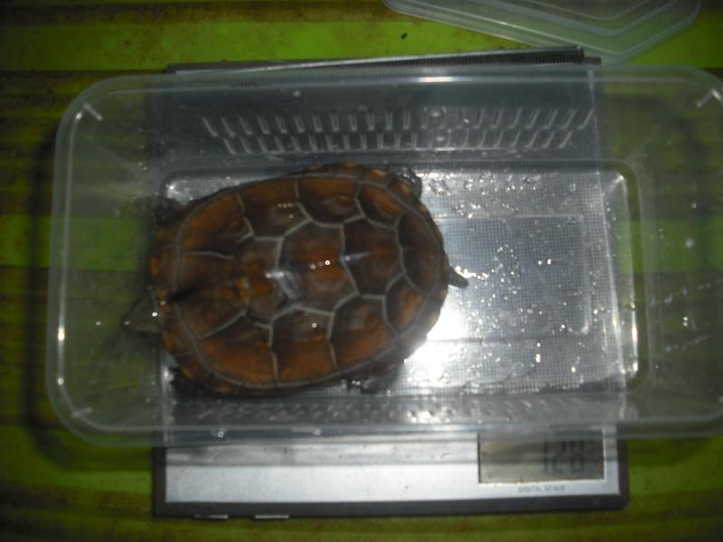 Mauremys reevesii fredturtle Dscf4215