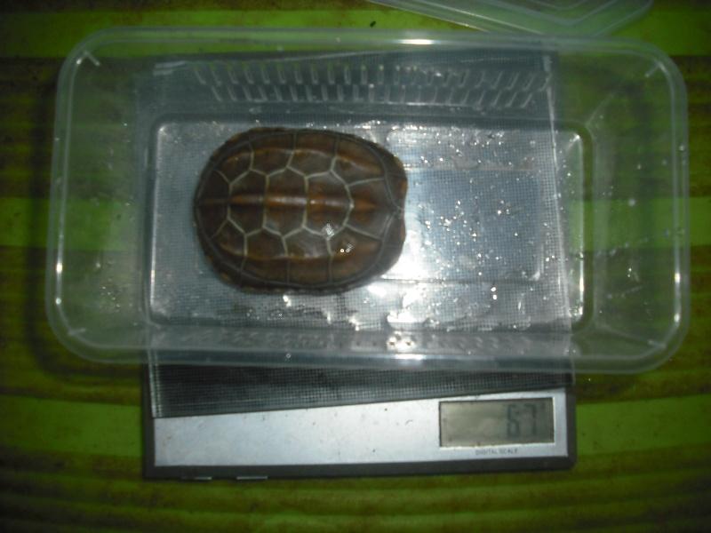 Mauremys reevesii fredturtle Dscf4216