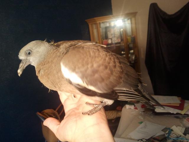 informations sur mon pigeon 10-09-10