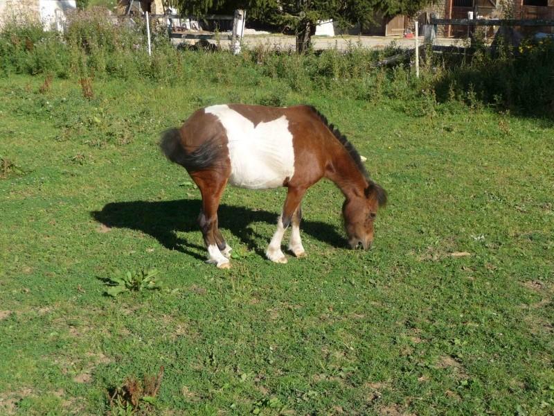 POLLY - Ponette Shetland née en 2004 - adoptée en novembre 2011  P1050510
