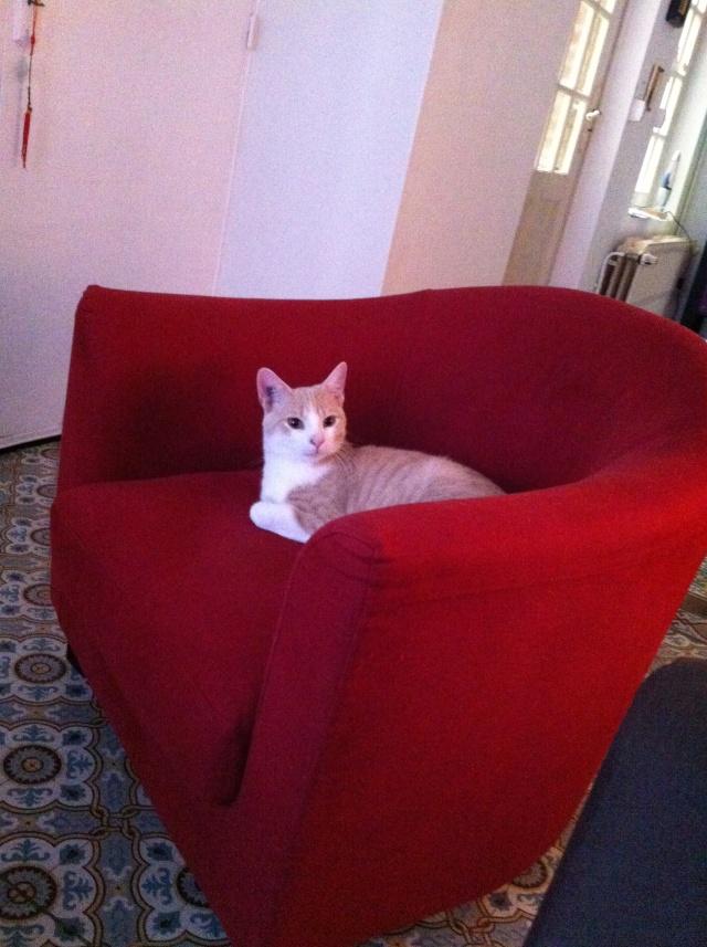 Caramel, roux et blanc, né en décembre 2010, identifié HWX959 Img_3510