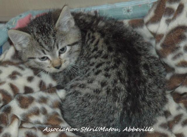 Rosie, chaton tigré, née le 15 aout 2012 Rosie10