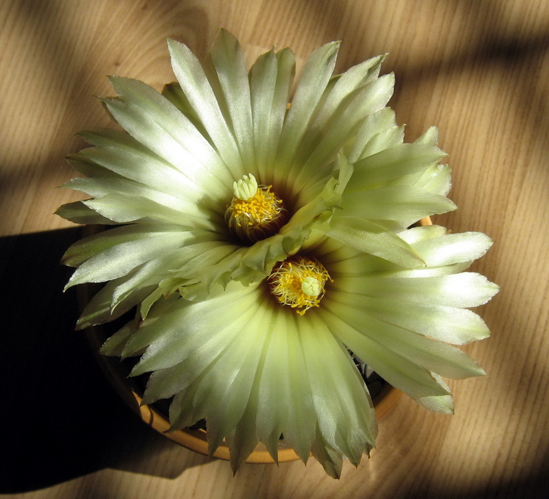 My Coryphantha blooming Img_0813