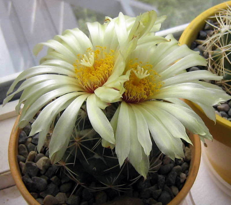 My Coryphantha blooming Img_0814