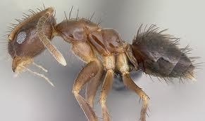 Des millions de fourmis poilues envahissent le sud des É.-U. !!! Fourmi10