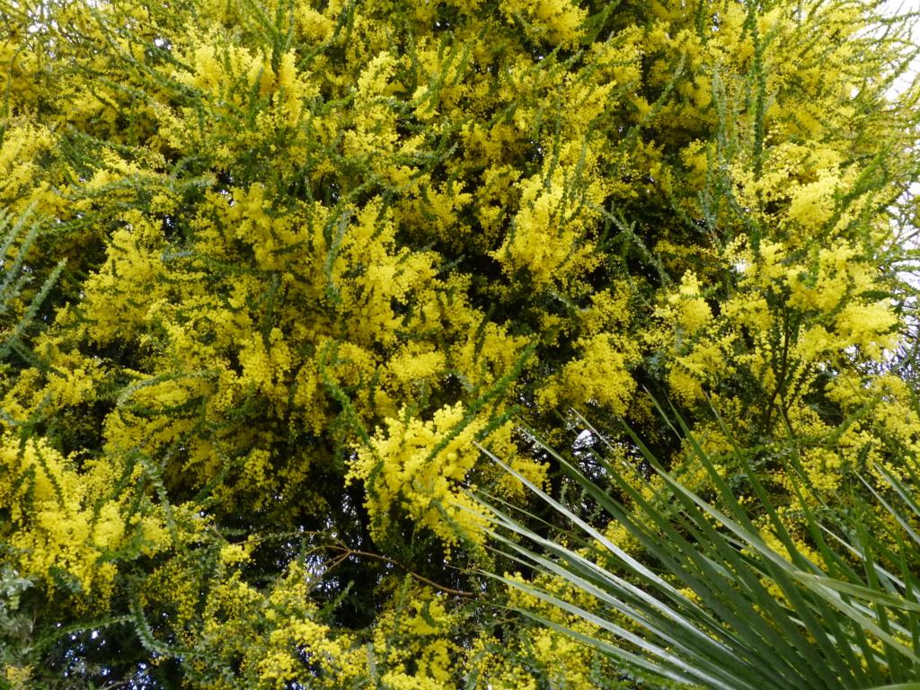 Acacia pravissima - mimosa Acacia14