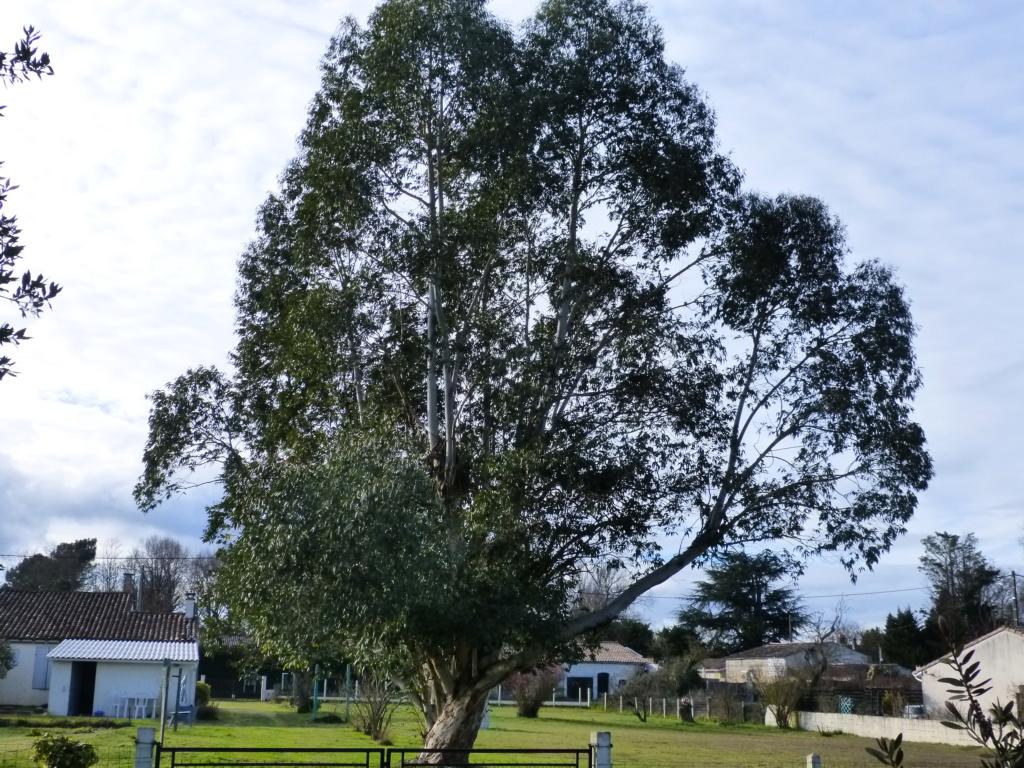 Nos arbres en hiver 2018 Arbres14