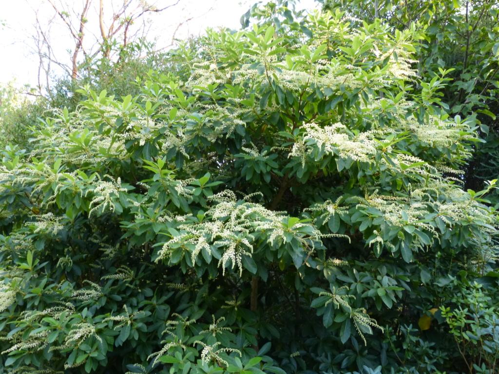 Clethra pringlei Clethr12