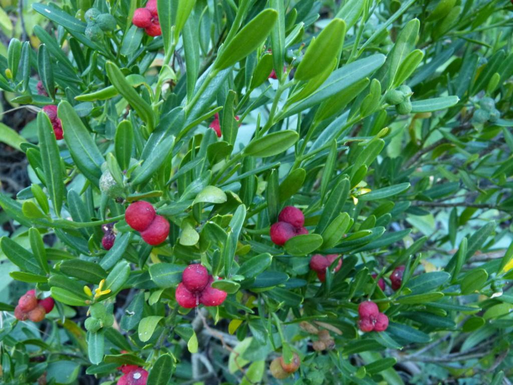 Cneorum tricoccon - camélée Cneoru11
