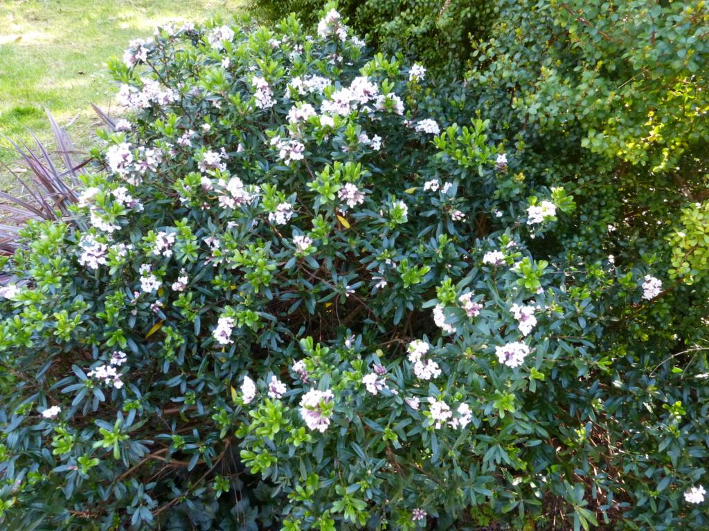 brassées fleuries Daphne12