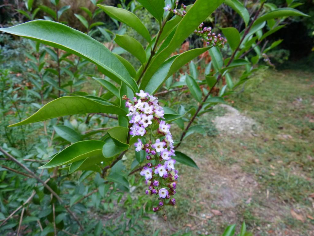 Citharexylum spicatum, Schima superba, Rhododendron macrosepalum linearifolium, Melaleuca huegelii [devinette] Devine10