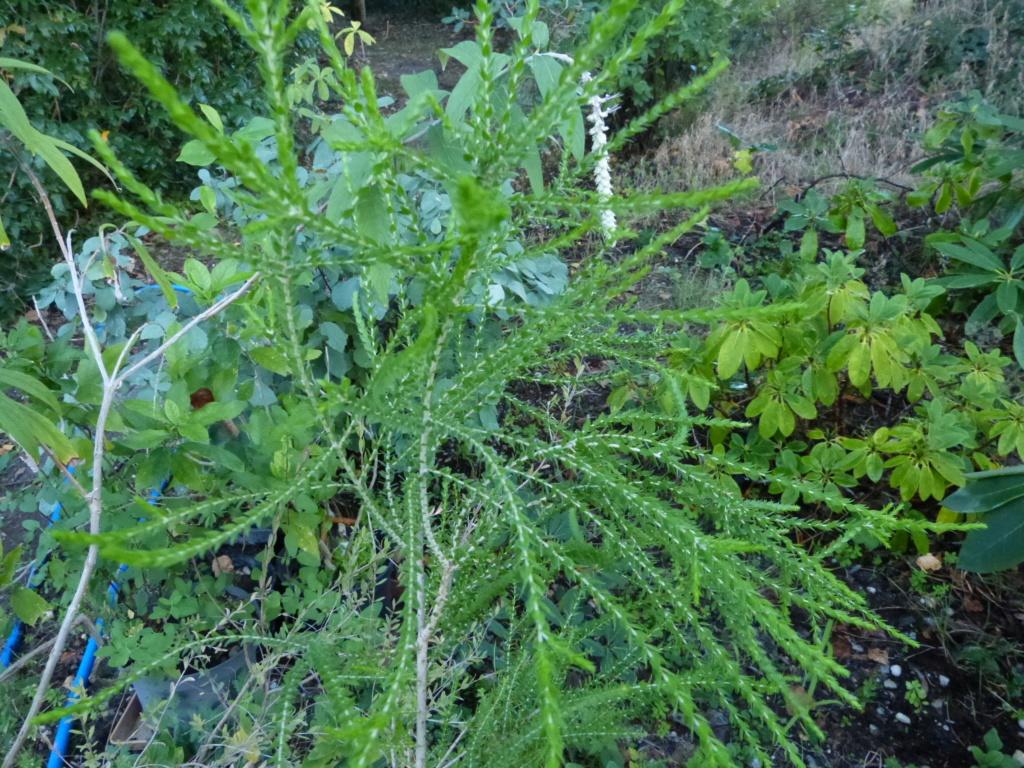 Citharexylum spicatum, Schima superba, Rhododendron macrosepalum linearifolium, Melaleuca huegelii [devinette] Devine13
