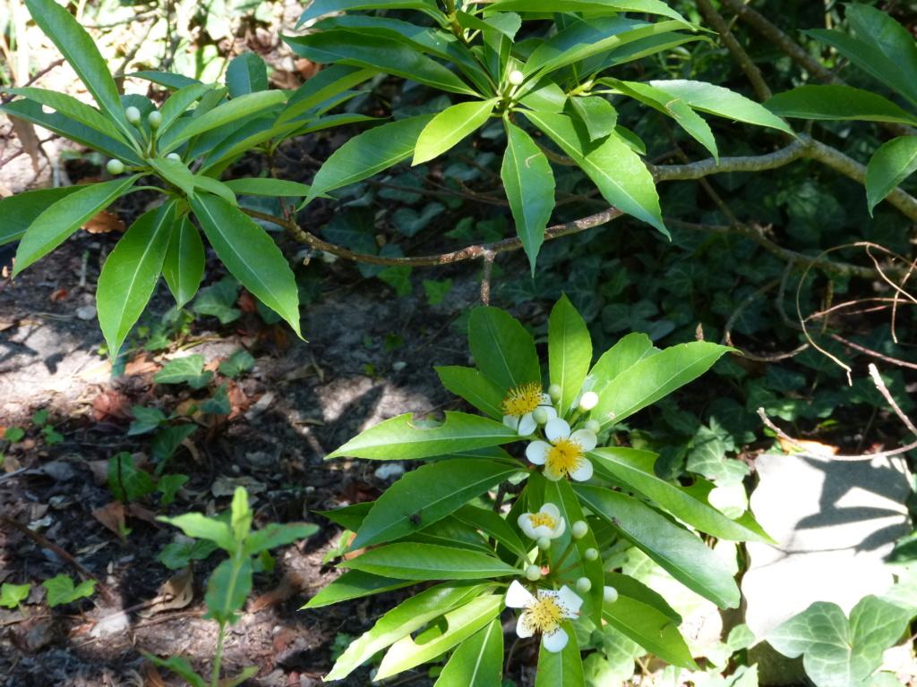 Citharexylum spicatum, Schima superba, Rhododendron macrosepalum linearifolium, Melaleuca huegelii [devinette] Devine14