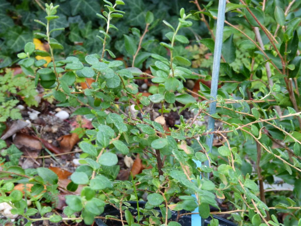 Hibbertia aspera et Ceanothus impressus 'Puget Blue' [devinette] Devine17