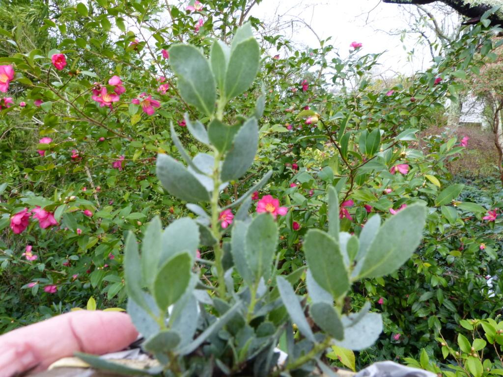 Toute petite médocaine Arctostaphylos glandulosa ssp. glandulosa Devine33
