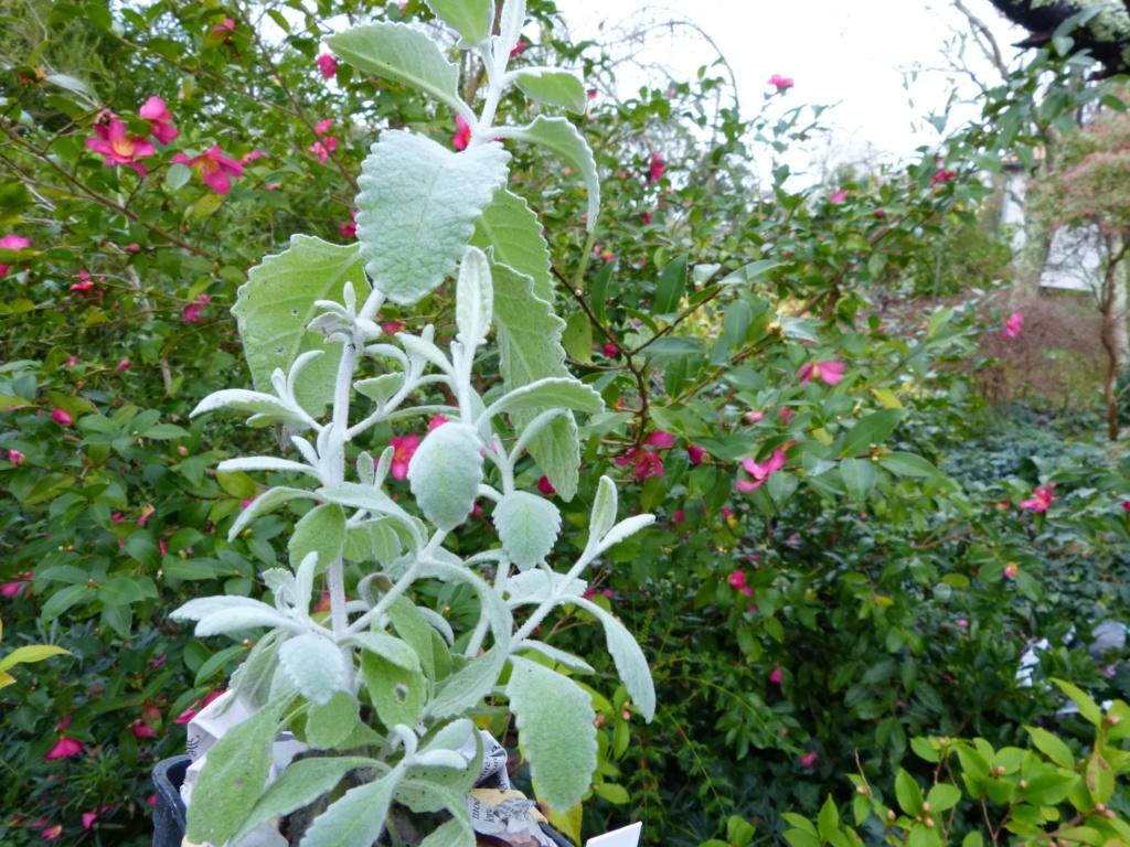Buddleja marrubiifolia Devine34