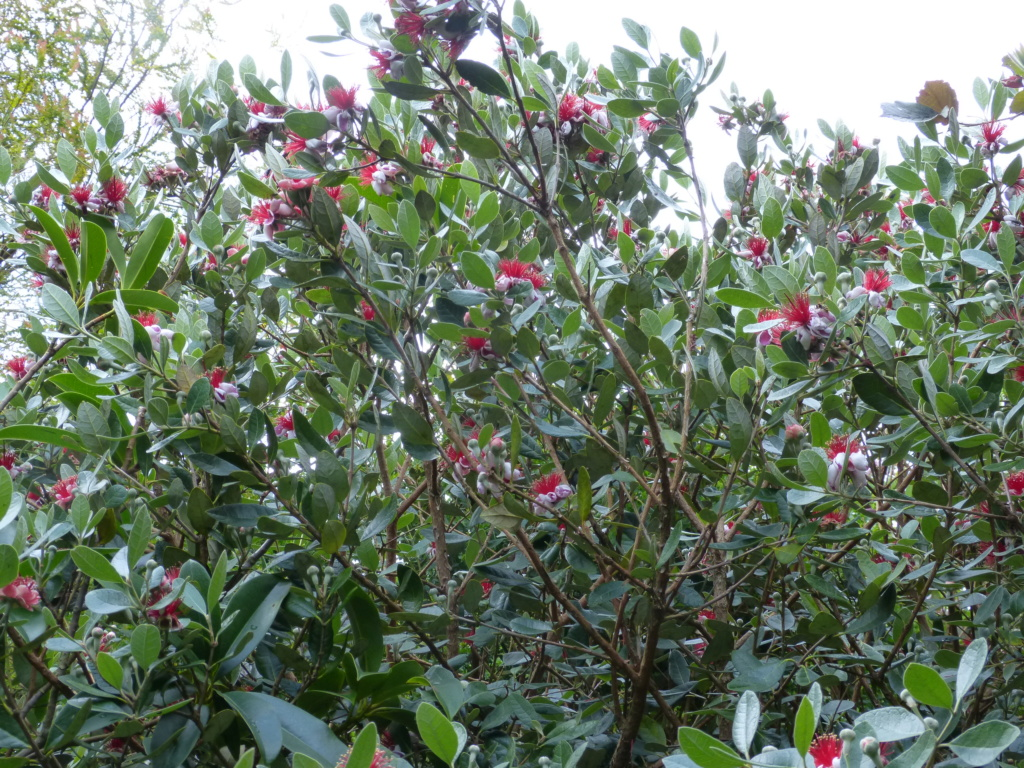 Acca sellowiana (Feijoa) - goyavier du Brésil - Page 5 Feijoa12