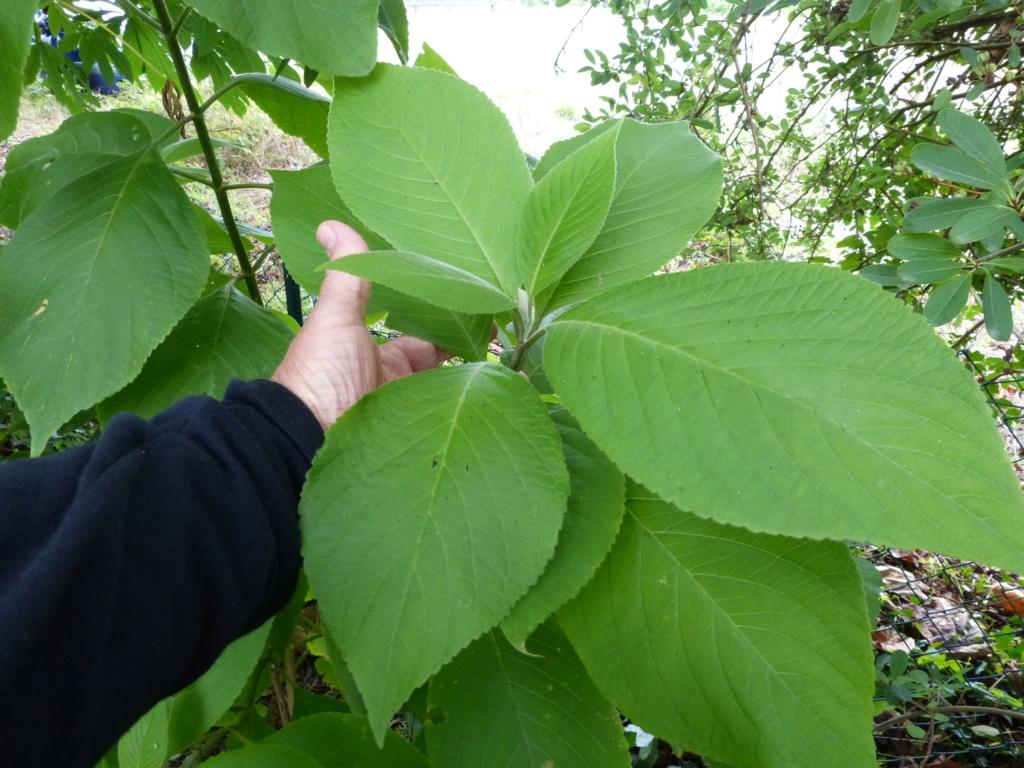 Leucosceptrum canum Leucos10