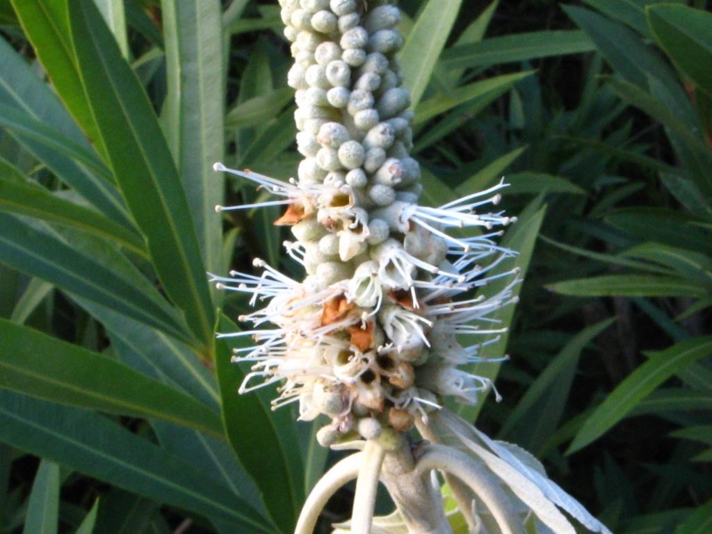 Leucosceptrum canum Leucos12