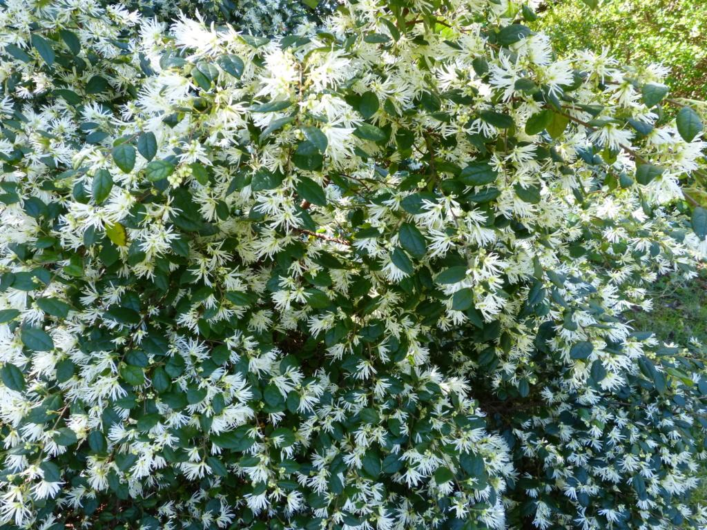 Loropetalum chinense - Page 2 Lorope10