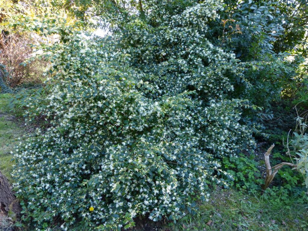 Loropetalum chinense - Page 2 Lorope12