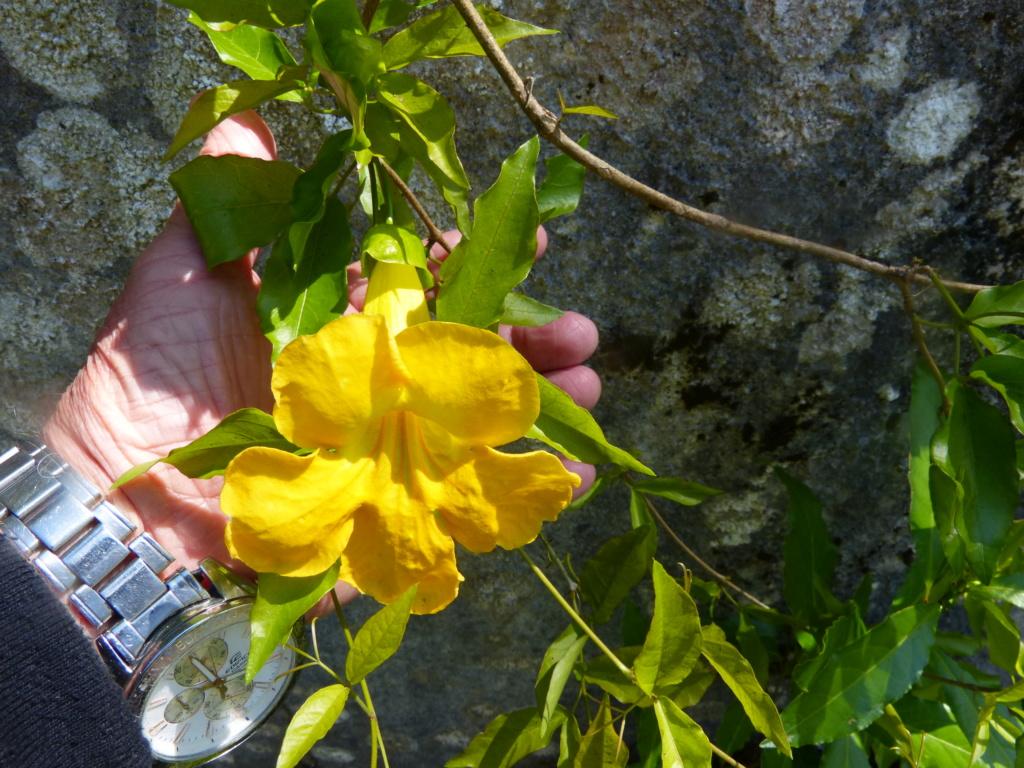 Macfadyena unguis-cati Macfad10