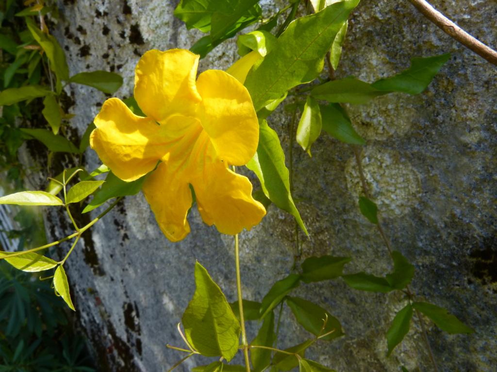 Macfadyena unguis-cati Macfad11